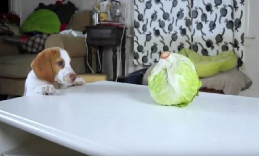 Tündéri: a kiskutya először lát salátát és sikerül levadásznia!