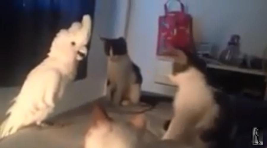 Hihetetlen videó: a papagáj megtanulta utánozni a macskát!