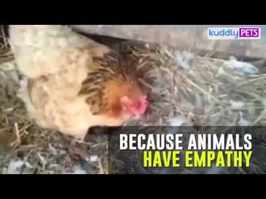 Azt gondolnád, hogy a tyúk a tojásain ül. Nagy tévedés! Elképesztő videó!