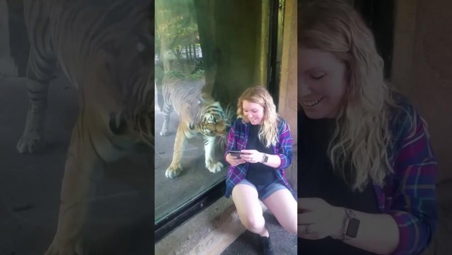 A terhes nő odaült a tigris üvege elé az állatkertben -erre azonban senki nem számított!