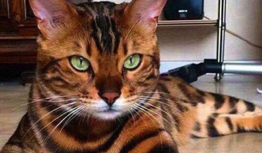 A világ 17 legszebb macskája, akikért bizony mélyen a zsebünkbe kell nyúlnunk!