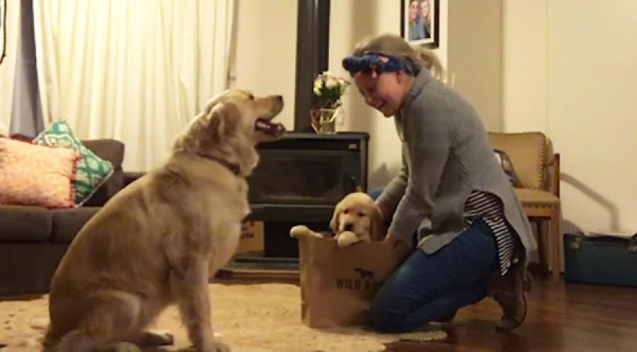 A gazdi hazaállított egy kiskutyával -a nagy kutya reakciója mindenkit meglepett!